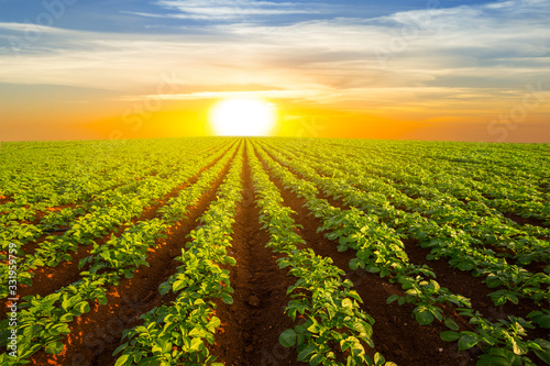 Fotografia potato field at the dramatic sunset, outdoor agricultural scene