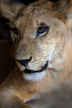 Close-up Portrait Of A Young Lioness (Panthera Leo)