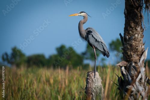 Obraz na plátne Great Blue Heron Standing Guard