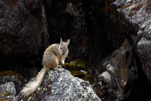 Vizcacha Peruana (Lagidium Peruanum) Resting And Perched On Rocks In Its Natural Environment.