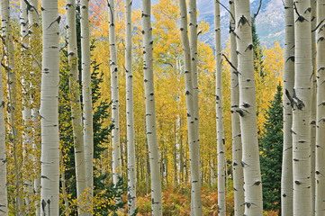 Panel Szklany Podświetlane Inspiracje na jesień Landscape of an autumn aspen forest with conifers, Elk Mountains, Colorado, USA