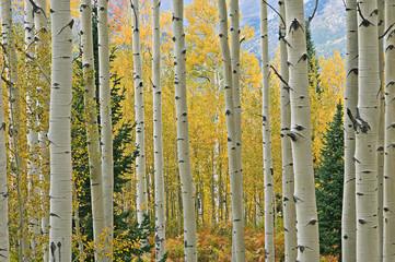 Fototapeta Inspiracje na jesień Landscape of an autumn aspen forest with conifers, Elk Mountains, Colorado, USA