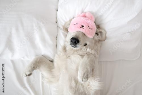 Obraz happy golden retriever dog in a sleeping mask relaxing in bed - fototapety do salonu