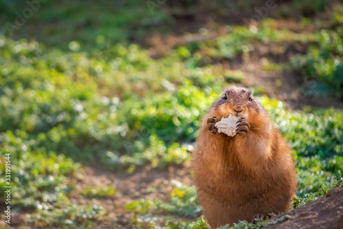 Photo One cute prairie dog eating a piece of bread on a sunny summer day in Attica zoo