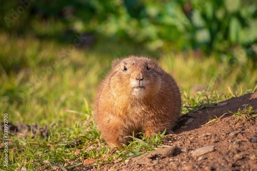 Photo One cute prairie dog looking at the camera on a sunny summer day in Attica zoolo