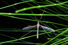Crane Fly Also Known As Mosqui...