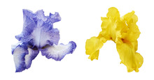 Iris Flowers In Blue And Yellow Color Isolated On White Background. Set Of Two Beautiful Irises.