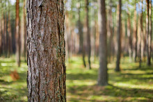 Single Pine Tree, Bark Close Up On The Background Of The Forest Trees