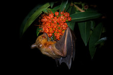 Lesser Short-nosed Fruit Bat -...