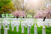 Rows Of Tombs And Graves On Military Cemetery With Blooming Spring Cherry Tree Flowers