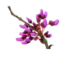 Isolated Virginia Redbud Tree ...