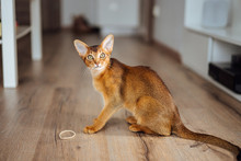 Very Skinny Abyssinian Cat Pla...