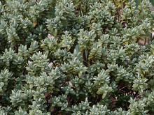 Hebe Pinguifolia Pagei Ou Véronique Naine Au Feuillage Dense, Décoratif à Floraison Estivale Blanche