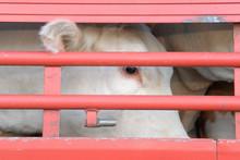 Transport D'animaux Vivants, Bovins à Travers Les Barreaux De La Bétaillère