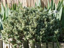 Hebe Pinguifolia Pagei Ou Véronique Naine, Un Buisson Décoratif Au Feuillage Vert Amande Aux épis De Fleurs Blanche Globuleux