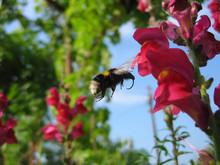 Motion Blur Of Bumblebee In Fl...