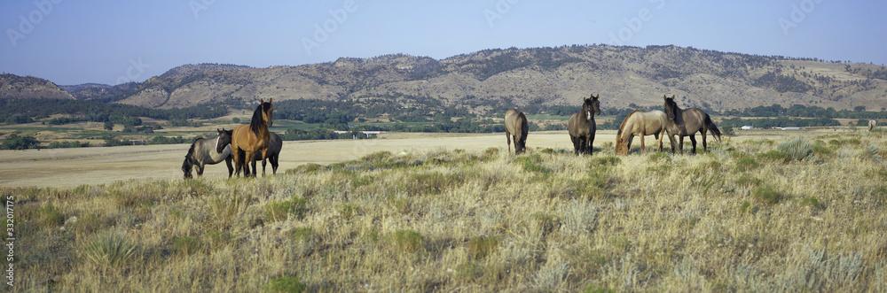Fototapeta Panoramic image of wild horses of Black Hills Wild Horse Sanctuary, the home to America's largest wild horse herd, Hot Springs, South Dakota