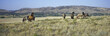 Panoramic image of wild horses of Black Hills Wild Horse Sanctuary, the home to America's largest wild horse herd, Hot Springs, South Dakota