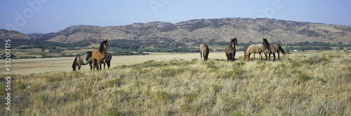 Fototapeta Panoramic image of wild horses of Black Hills Wild Horse Sanctuary, the home to America's largest wild horse herd, Hot Springs, South Dakota obraz