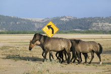 Wild Horses Crossing Road In F...