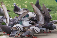 Pigeon Feeding Frenzy