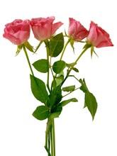 Pretty Rose Pink Petals Close Up