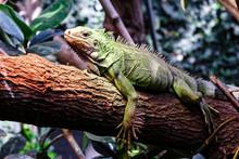 A Big Green Iguana On Tree Bra...