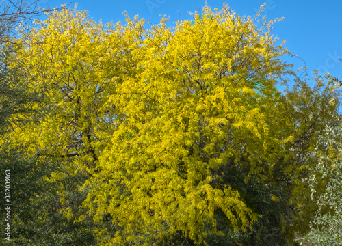 Tree - Yellow Blossoms