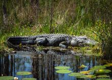 Wild American Alligator At Oke...