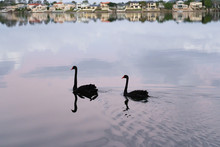 Elegant Black Swan Couple Pair...
