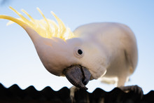 A Cockatoo Looking Down At Cam...