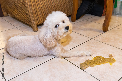 Fotografie, Obraz Sick poodle dog with vomit on floor at home possibly due to indigestion