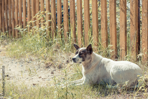 Foto Homeless mongrel with long ears lies near wooden fence and protects the territory from unfamiliar passers by