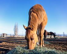 Light Brown Horse In Field Eating Hay