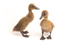 Two  Ducklings  ( Indian Runne...