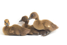 Three Ducklings ( Indian Runne...