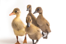 Four Ducklings ( Indian Runner...
