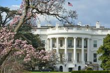 White House And Spring Blossom...