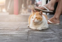 A Quiet White And Red Cat Sits...