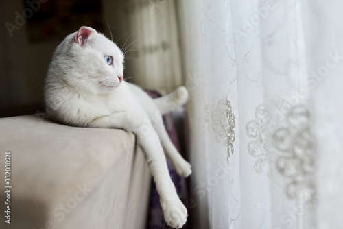 Valokuva Cute white Scottish fold cat with blue eyes rest in front of window