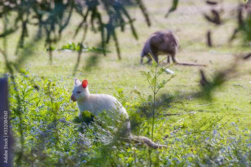 rare white albino wallaby grazing on Bruny island Tasmania Tablou Canvas