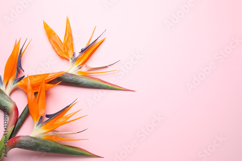 Obraz Flat lay composition with Bird of Paradise tropical flowers on pink background, space for text - fototapety do salonu