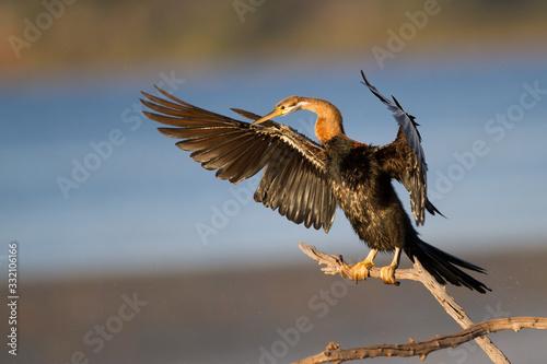 Fototapeta African darter sunning wings after swim