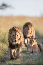 Lion Pride Walking Through Grass