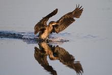 Reed Cormorant Splash Landing ...