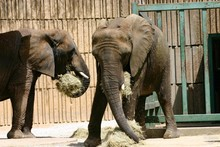 Elephants Eating Hay At The Zo...