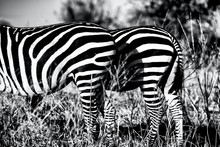 Greyscale Closeup Of Two Zebra...