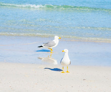 Close Up Of Two Seagulls Standing On The Foreshore