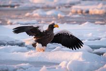 The Steller's Sea Eagle, Halia...