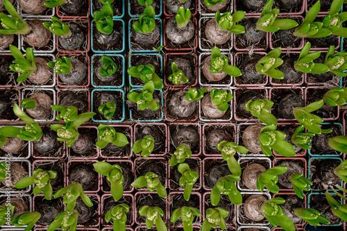 Fototapeta Background, with lots of hyacinth flower bulbs. obraz